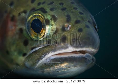 macro photo of a trout under water