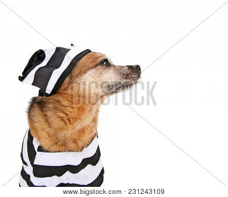 cute chihuahua dressed up as a convict with striped prison clothes