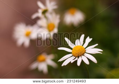 Buds Of Chamomile In The Garden With Blurred Same Flowers In The Background. Shallow Depth Of Field