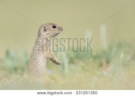 Cute European Ground Squirrel Standing And Watching On A Field Of Green Grass,spermophilus Citellus