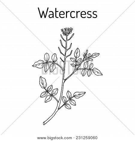 Watercress Nasturtium Officinale , Aquatic Medicinal Plant. Hand Drawn Botanical Vector Illustration