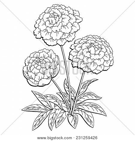 Peony Flower Graphic Black White Isolated Bouquet Sketch Illustration Vector