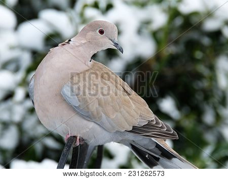 Ring Neck Or Collared Dove Feeding In Urban House Garden In Winter Conditions.