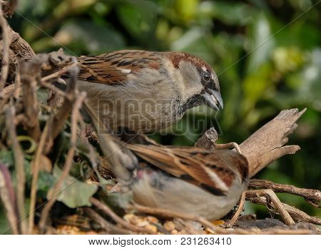 Male Sparrow Feeding In Urban House Garden In Winter Conditions.