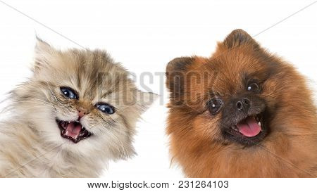 Pomeranian Spitz And Persian Kitten In Front Of White Background