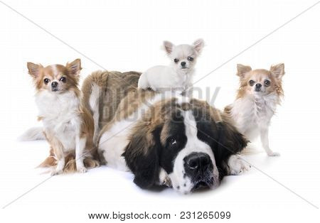 Young Saint Bernard And Chihuahua In Front Of White Background