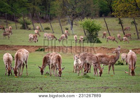 Deer Without Horns Graze On A Meadow. Animals