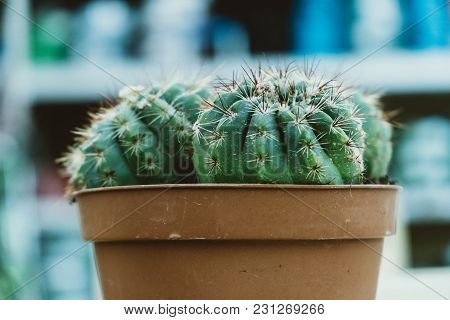 Two Cactus Mammillaria Stand In A Pot On The Shelf In The Store