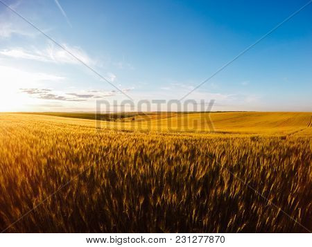 Field of yellow wheat in sunlight. Location rural place of Ukraine, Europe. Ecological production of natural products. Scenic image of splendid nature landscape, amazing view. Beauty of earth.