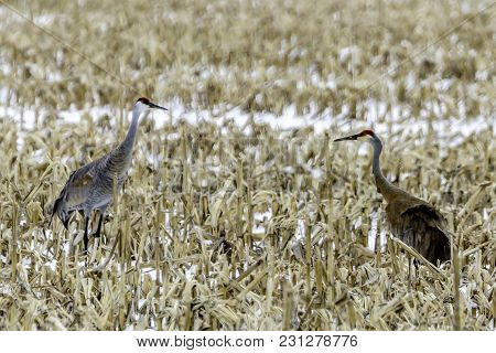 A Pair Of Sandhill Cranes Courting In A Corn Field