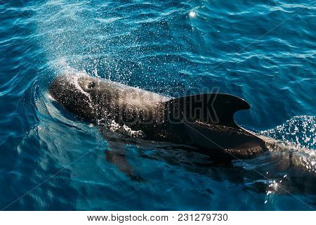 Dolphin At The Surface Taking A Breath In Oceane