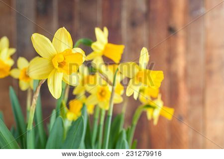 Sunlit Spring Easter's Yellow Daffodils On Rustic Wooden Background.