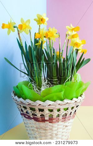 Yellow Easter's  Daffodils In A Festively Decorated Basket On Blue-yellow-pink Background.