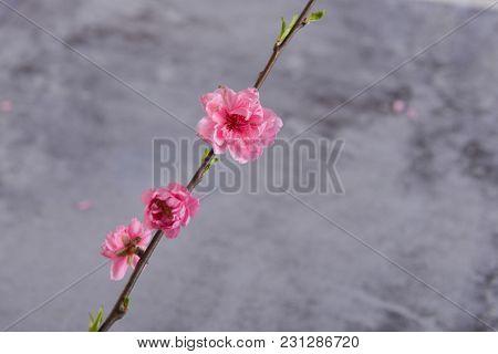 Peach flower Sakura cherry blossom isolated on gray background
