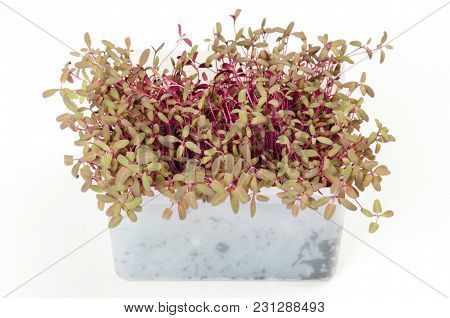 Red Garden Orache Microgreen In White Plastic Container. Reddish Shoots Of Atriplex Hortensis. Red O