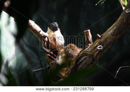 Pied Tamarin Saguinus Bicolor Bicolor Seated On A Tree Branch, Animal