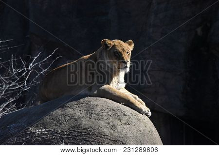 Female Lion Laying On Top Of A Rock, Animal, Big Cat