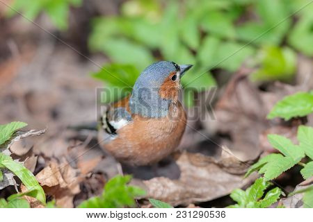 Portrait Of A Seated Chaffinch Close Up