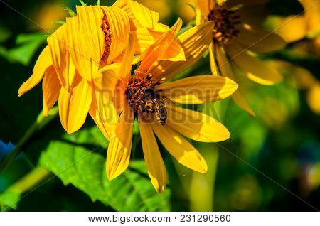 Be On The Beautiful Yellow Daisy In The Garden During The Sunny Day