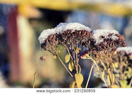 Dry Flowers Of Gravel Root Sprinkled With Snow (eutrochium Purpureum)