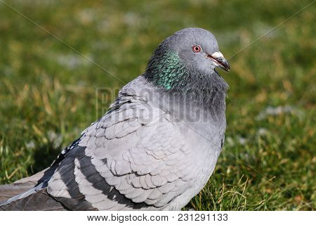 A Pigeon With Beak Open And A Patch Of Green Iridescence On Its Nape