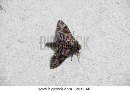 Picture of a colorful giant moth on white poster