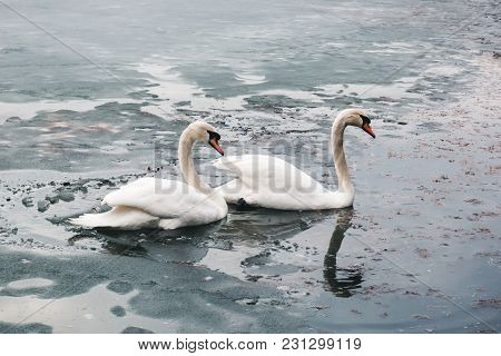 Two Large Beautiful White Swans Swim On The Lake Part Of Which Is Covered With Ice