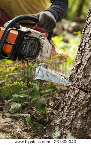 Closeup Of Felling Wedge And Forestry Worker With Chainsaw In The Background