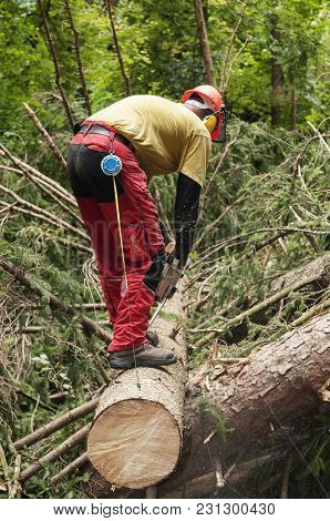 Forestry Worker Trimming Cut Down Spruce Tree With Chainsaw