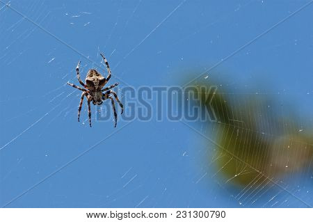 European Garden Spider Waiting In Its Web