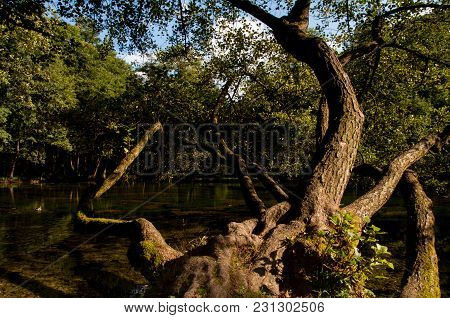 Huge Tree Above The River Bosna In The Touristic Park Vrelo Bosne