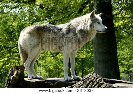 A Wolf standing on a fallen tree trunk very close shot of full body of Wolf in sunlight. poster