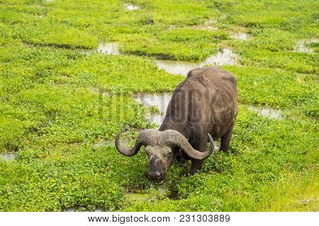 Buffalo Grazing In The Savannah Swamps Of Amboseli Park In Kenya