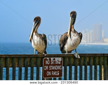 Brown Pelicans - Pelecanus Occidentalis - Two Birds Standing On Railing Over Funny Sign With Ocean A