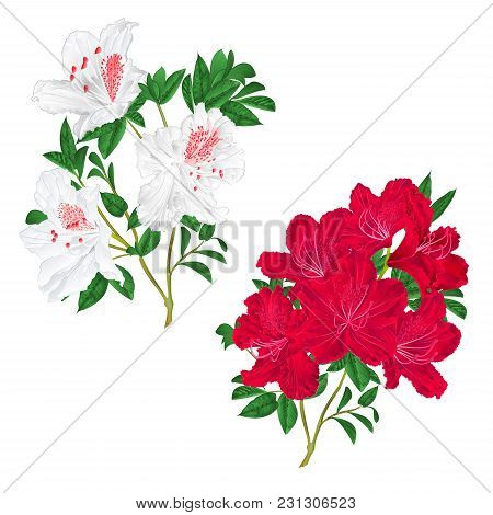 Branches Red And White Flowers Rhododendron  Mountain Shrub On A White Background Set Second Vintage