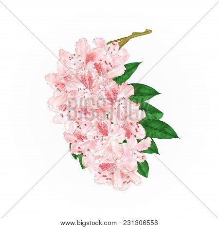 Branch Light Pink Flowers Rhododendron  Mountain Shrub On A White Background Vintage  Vector Illustr