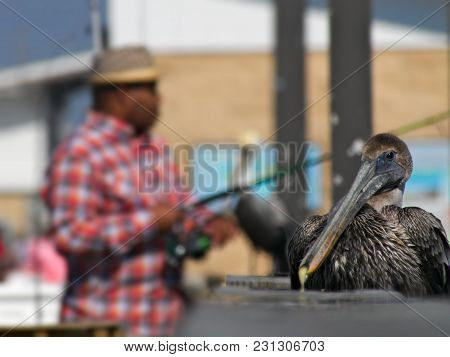 Brown Pelican - Pelecanus Occidentalis - Closeup Of Single Bird Resting On Railing With Fisherman In