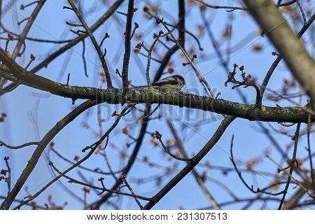 Long Tailed Tit Bird
