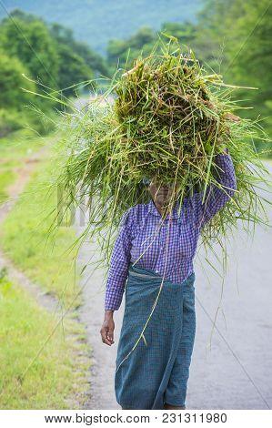 Shan State , Myanmar - Sep 06: Burmese Farmer Working On A Field In Shan State Myanmar On September