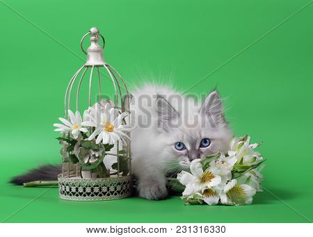 Siberian Neva Masquarade Colorpoint Kitten On Green Background Wirh Flowers