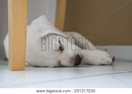 Young Cute White Purebred Labrador Retriever Dog Puppy Lying Tired Under Table Sleeping