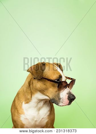 Funny Staffordshire Terrier Dog In Sunglasses. Studio Photo Of Pitbull Terrier Puppy In Summer Eyegl