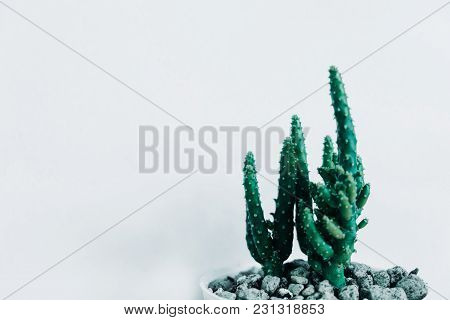 Front View. Ornamental Plant Background Closeup Cactus In Vase With White Wall And Copy Space. Image