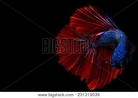 Siamese Fighting Fish,half Moon Long Red Tail(hmpk),betta Splendens Isolated On Black Background.