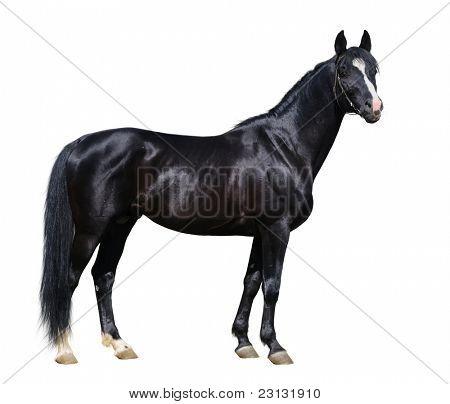 Black Trakehner stallion isolated on white