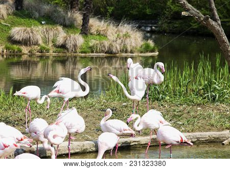 Pink Flamingoes In The Water