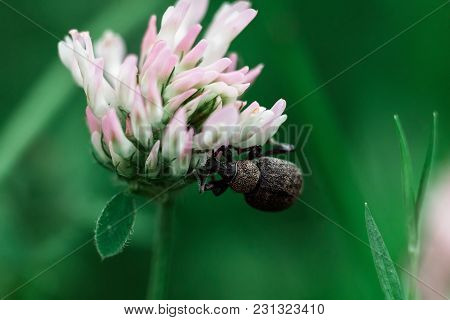 The Beetle Sits On A White Flower, Macro
