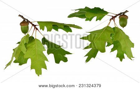 Set: Branch Of An Oak Tree With Leaves And An Acorn. Isolated On White Background Without Shadow.