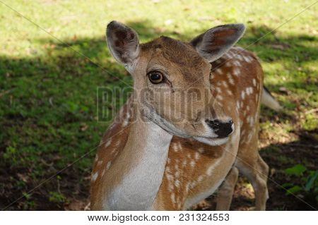 Deer In The Nature Reserve Fischbeker Heide, Hamburg - Germany