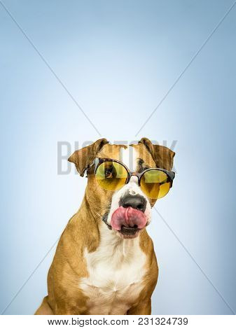 Funny Staffordshire Terrier Dog In Sunglasses Licks Its Nose. Studio Photo Of Pitbull Terrier Puppy